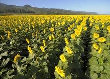 Campos de flor de Sun Fotos de archivo libres de regalías