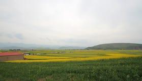 Campos de flor del Canola Foto de archivo libre de regalías