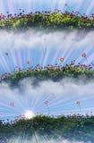 Campos de flor del crisantemo en luz de la mañana Foto de archivo
