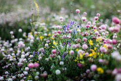 Campos de flor del verano en Rusia Imagenes de archivo