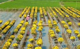 Campos de flor do Sa dezembro, Vietname Fotos de Stock