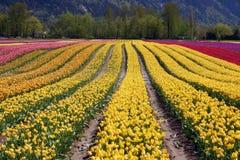 Campos de flor do Tulip fotos de stock
