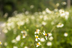 Campos de flor e abelha pequena na opinião da noite Fotografia de Stock