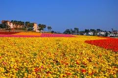 Campos de flor florecientes en Carlsbad California imágenes de archivo libres de regalías