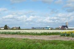Campos de flor florecientes de los narcisos blancos y amarillos también sabidos Fotografía de archivo
