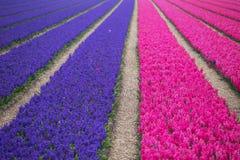 Campos de flor holandeses Imagens de Stock