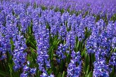 Campos de flor holandeses Imagem de Stock Royalty Free