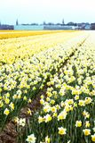 Campos de flor holandeses Fotografia de Stock Royalty Free