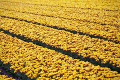 Campos de flor holandeses Fotografia de Stock