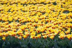 Campos de flor holandeses Imagens de Stock Royalty Free