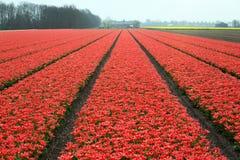 Campos de flor holandeses Fotos de Stock