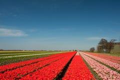 Campos de flor holandeses imagem de stock