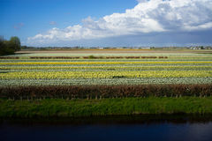 Campos de flor holandeses Fotos de Stock Royalty Free