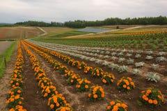 Campos de flor nos montes em torno de Biei Fotos de Stock Royalty Free