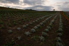 Campos de flor nos montes em torno de Biei Imagem de Stock Royalty Free