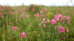 Campos de flor rosados en la Rusia almacen de metraje de vídeo