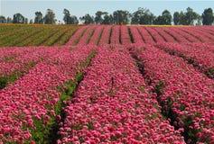Campos de flores Fotografía de archivo libre de regalías