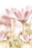 Flores cor-de-rosa bonitas da margarida Foto de Stock