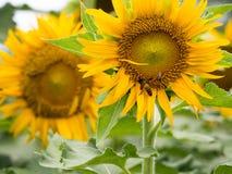 Campos de flores de Sun en jardín Imagen de archivo libre de regalías
