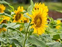 Campos de flores de Sun en jardín Fotografía de archivo libre de regalías