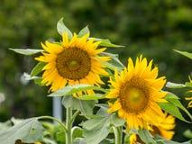 Campos de flores de Sun en jardín Fotos de archivo