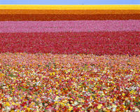 Campos de flores do ranúnculo fotos de stock royalty free
