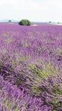 Campos de flores roxos da urze da alfazema imagens de stock