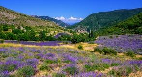 Campos de florescência da alfazema em Provence, França imagem de stock royalty free