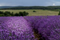 Campos de florescência da flor da alfazema Fotos de Stock Royalty Free