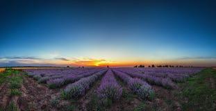 Campos de florescência da flor da alfazema em fileiras infinitas Tiro do por do sol imagem de stock