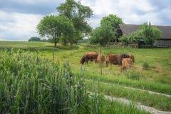 Campos de grão e um rebanho das vacas e de um estábulo Foto de Stock