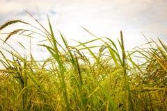 Campos de grões do arroz Fotografia de Stock Royalty Free