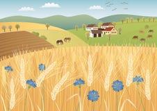 Campos de grano Imágenes de archivo libres de regalías