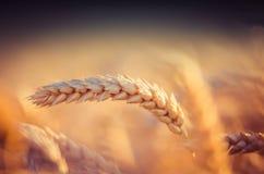Campos de grano en verano imágenes de archivo libres de regalías