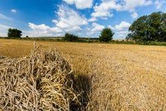 Campos de grano de maduración fotografía de archivo libre de regalías