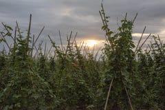 Campos de habas verdes foto de archivo libre de regalías