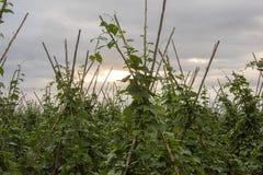 Campos de habas verdes imagenes de archivo