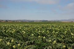 Campos de la alcachofa Imagen de archivo