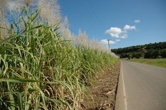 Campos de la caña de azúcar Imagen de archivo libre de regalías