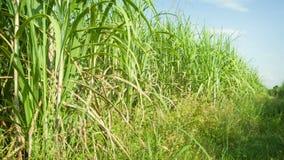 Campos de la caña de azúcar Tailandia, Sukhothai metrajes