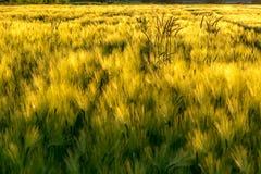 Campos de la cebada en el viento imagen de archivo libre de regalías