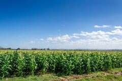 Campos de la cosecha, cielo azul del claro Foto de archivo libre de regalías