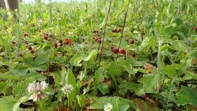 Campos de la fresa del bosque en Rusia Foto de archivo