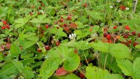 Campos de la fresa del bosque en Rusia Imagen de archivo