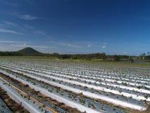 Campos de la fresa en la granja de la fresa Fotografía de archivo
