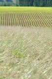 Campos de la hierba y del maíz Fotos de archivo libres de regalías