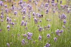 Campos de la lavanda con las abejas Imágenes de archivo libres de regalías