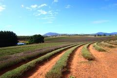 Campos de la lavanda de Tasmania Foto de archivo libre de regalías