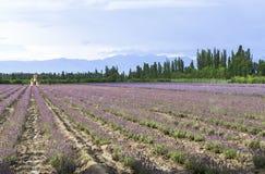 Campos de la lavanda de Xinjiang, China Imagen de archivo