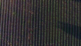 Campos de la lavanda vistos de abejón metrajes